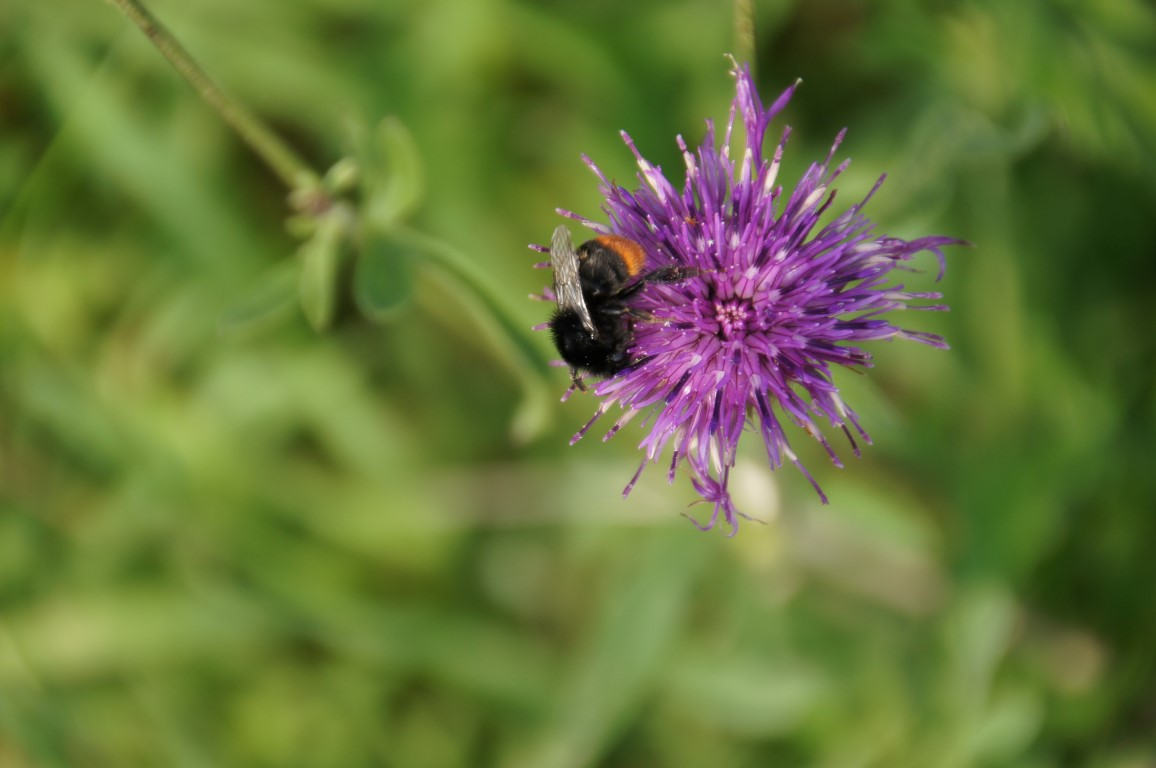 red tailed bumblebee on purple flower