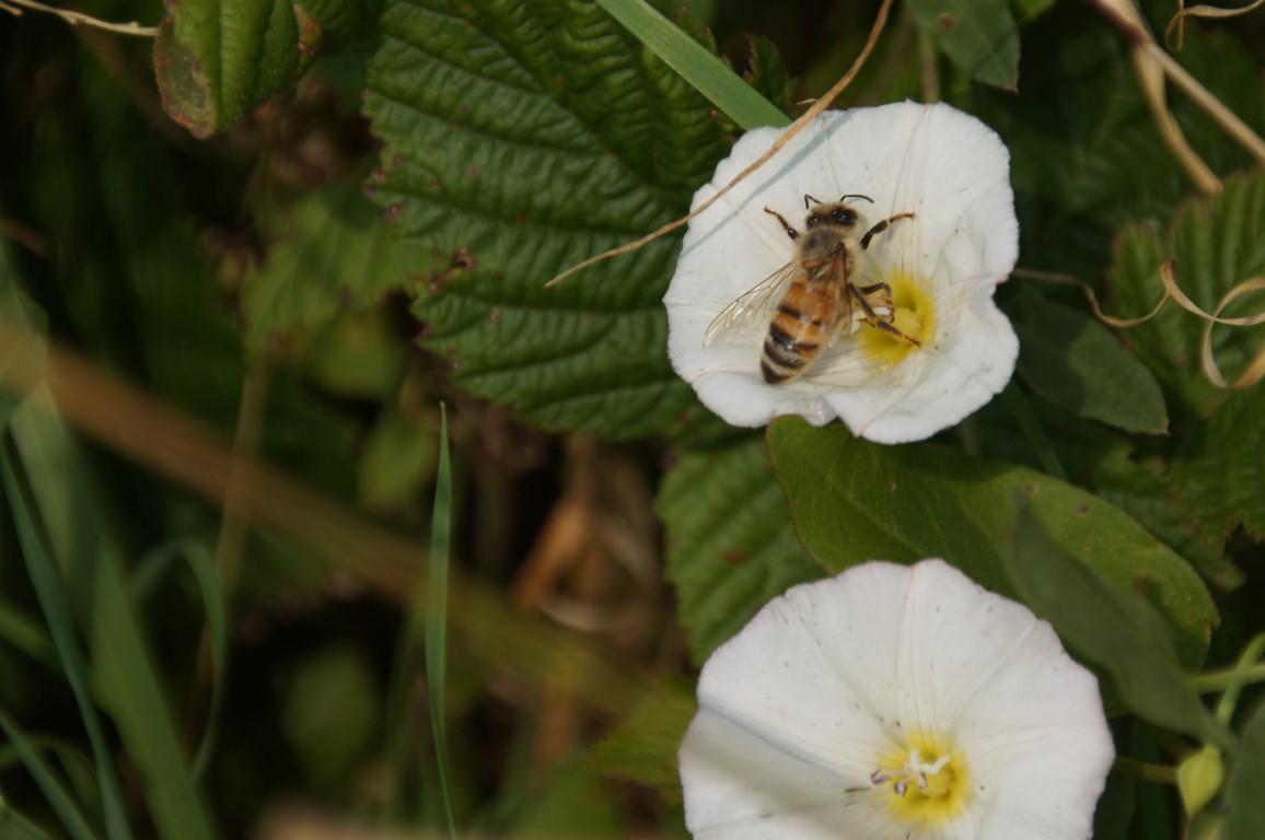 bee in bindweed