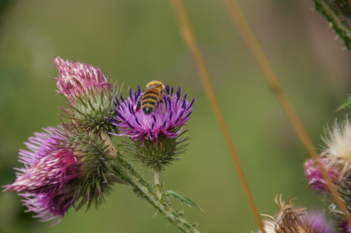 bee in purple thistle