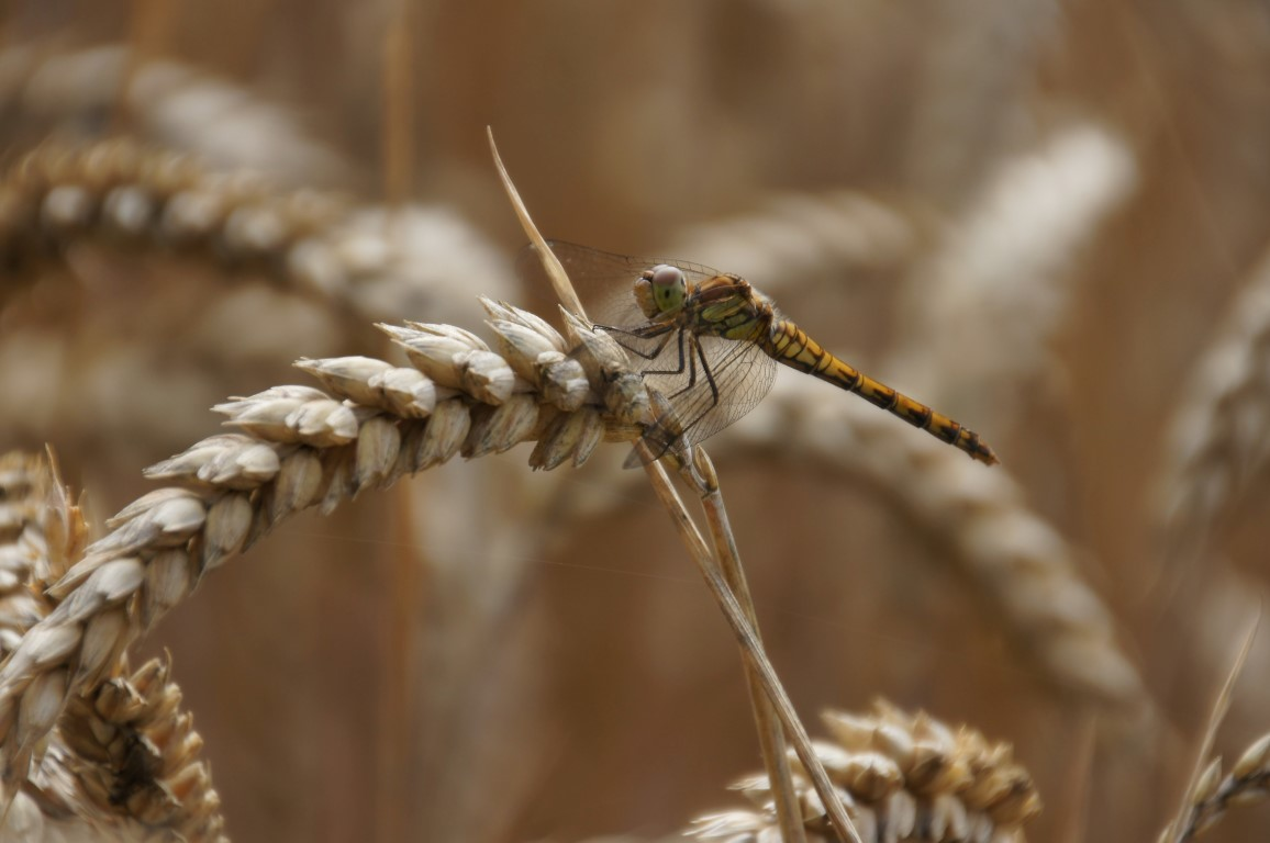 dragonfly guldsmed in wheat
