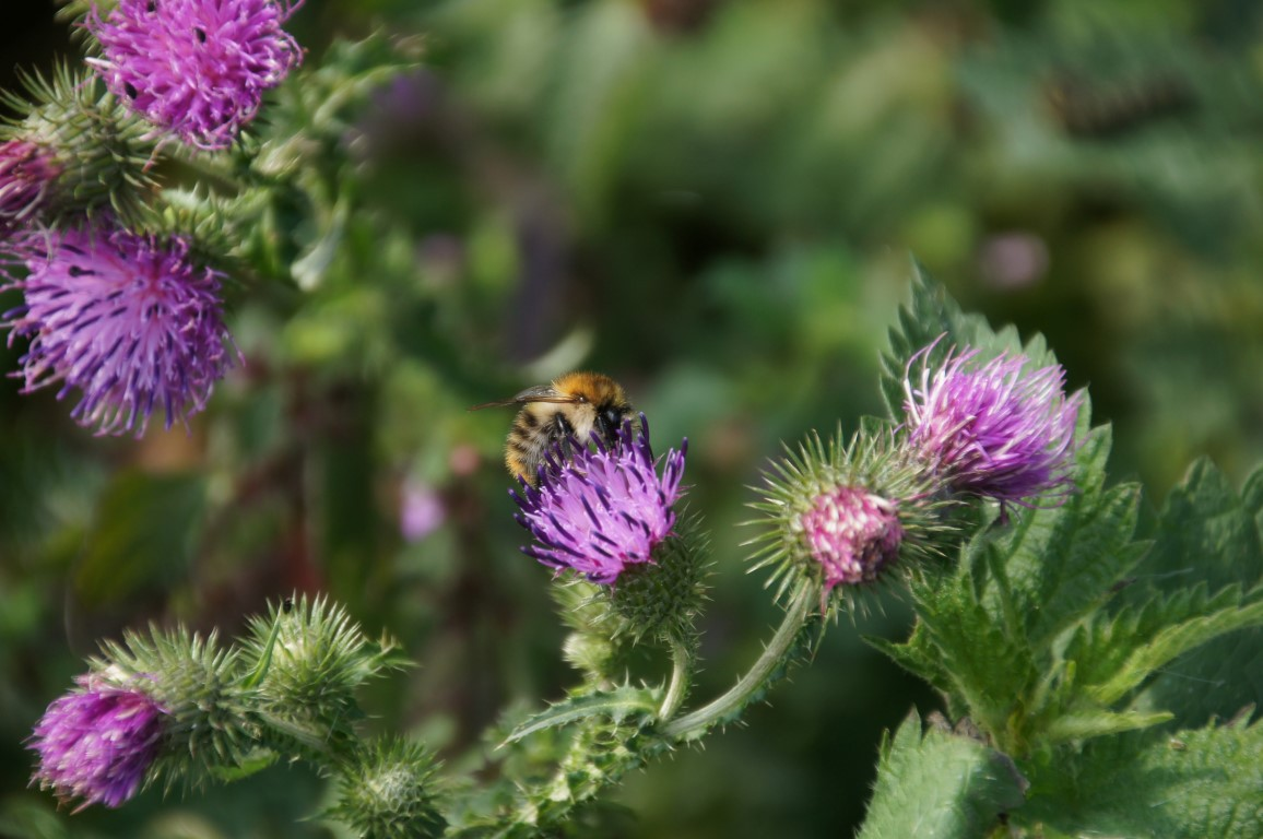 thistle with common carder bee
