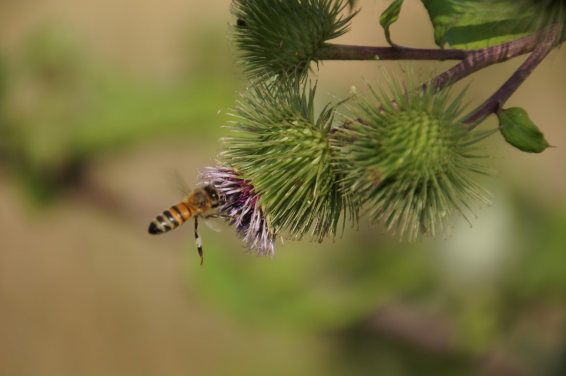 bee catching a thistle