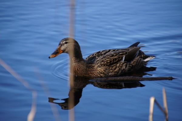 Female mallard in lake