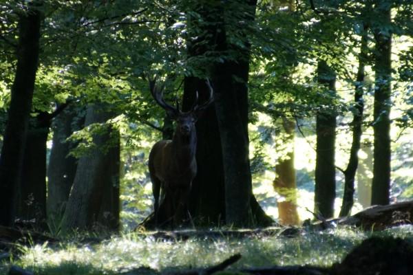 Red deer in woodlight