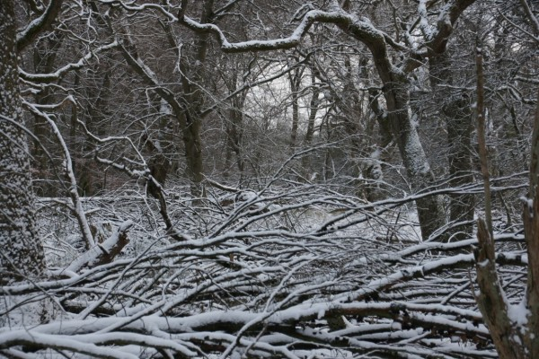 snowy afternoonlight tangled oak wood