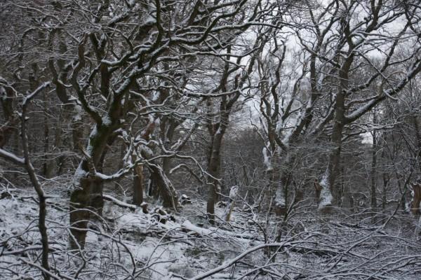 winter afternoon in snowy oak wood