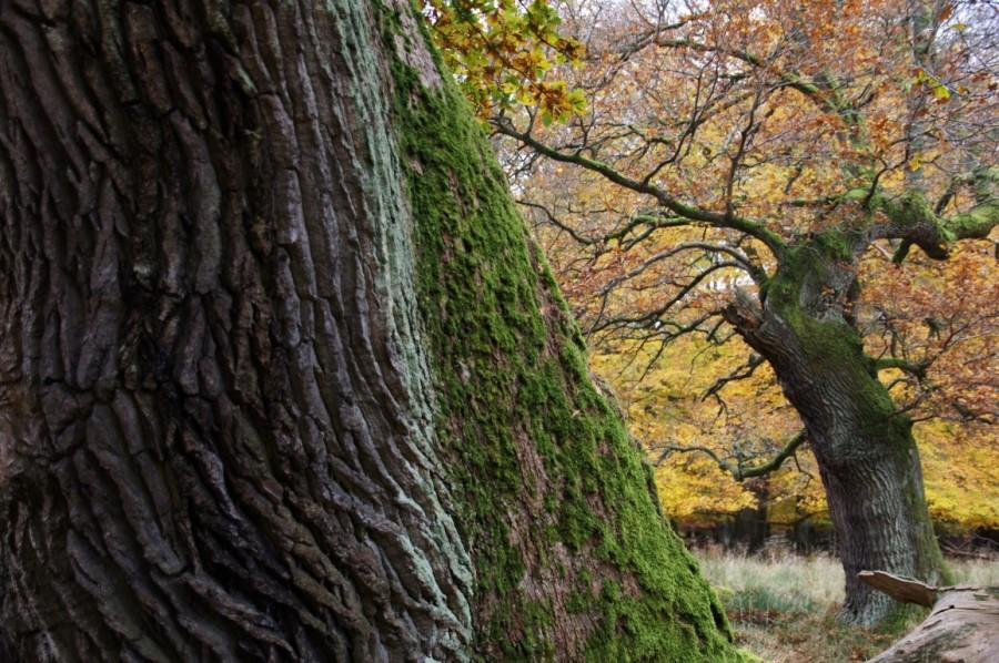 autumn oak tree