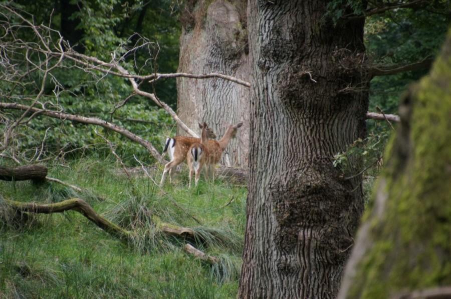 oak trees and deer in high summer