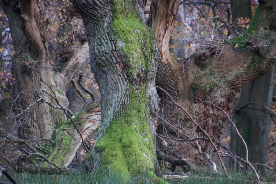 oak tree streching