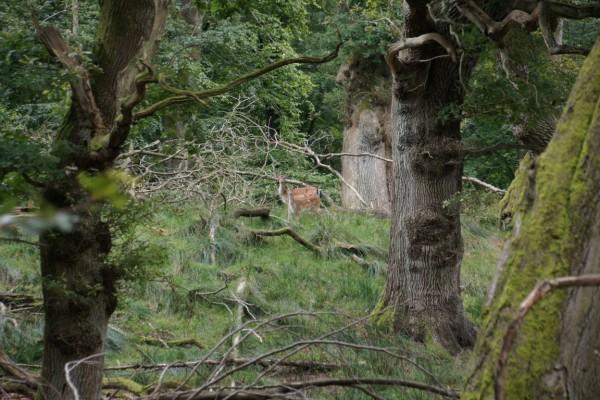 oak trees and deer in summer wood