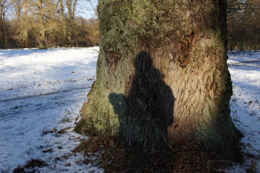 shadow on the oak trunk
