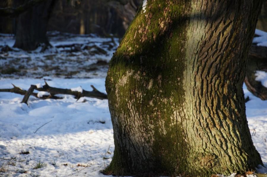 heavy oak
