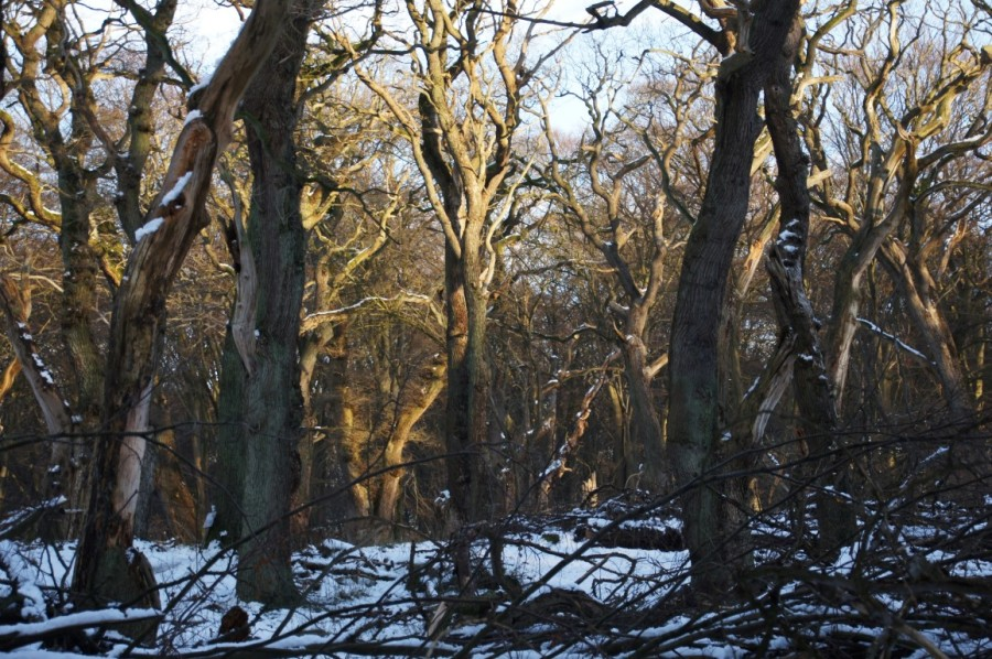 snow and afternoon winter light on oak wood