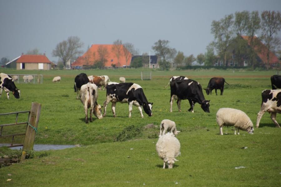 piebald cattle