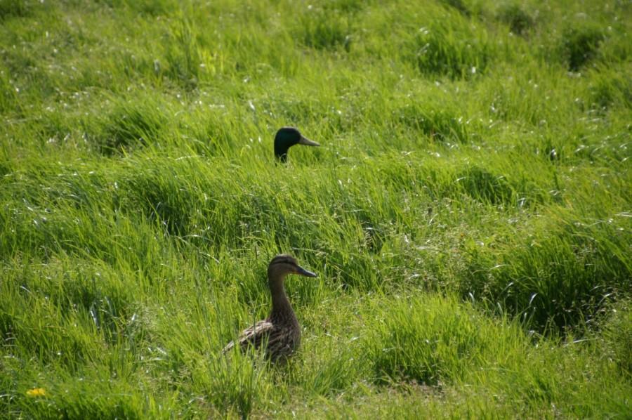 sea of grass - ducks