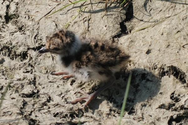 peewit chick