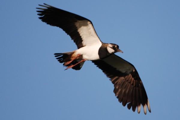 peewit in flight