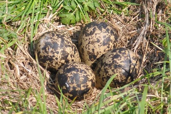 peewit eggs