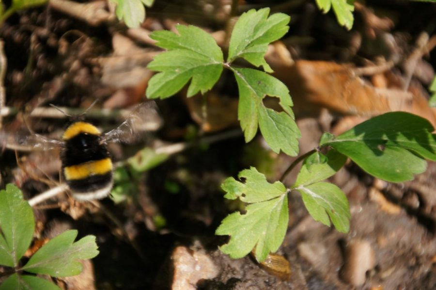 bumble bee queen out of focus