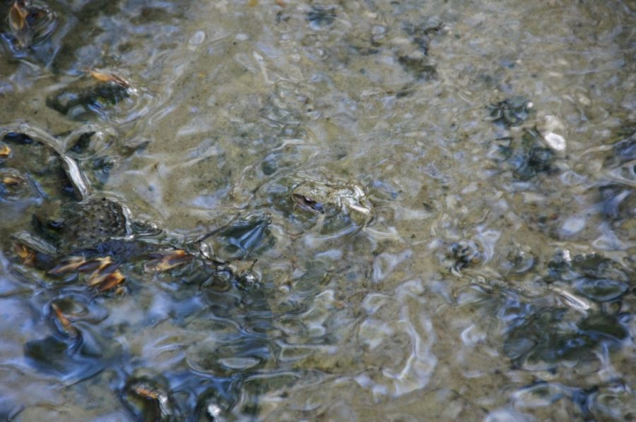 silvery frog in running water