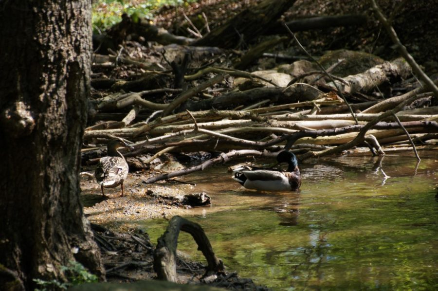 ducks by the stream